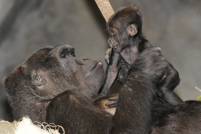 """In this February 11, 2014 photo provided by the Chicago Zoological Society, Koola, an 18-year-old gorilla, holds her 4-month-old baby at the Brookfield Zoo in Brookfield, Ill. The zoo on Tuesday, March 4, 2014 announced they have named the baby gorilla """"Nora"""", after the public cast 70,000 votes over two weeks. (Photo by Jim Schulz/AP Photo/Chicago Zoological Society)"""
