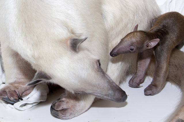 """A newborn tamandua baby is alive and doing well at Denver Zoo thanks to the dedication of zookeepers and veterinarians as the baby's mother learns her new role. Southern tamandua Rio gave birth to her first offspring on March 7, 2014. Zookeepers believe the baby is female and named her """"Cayenne"""". (Photo by Charlotte Bassin/Denver Zoo)"""