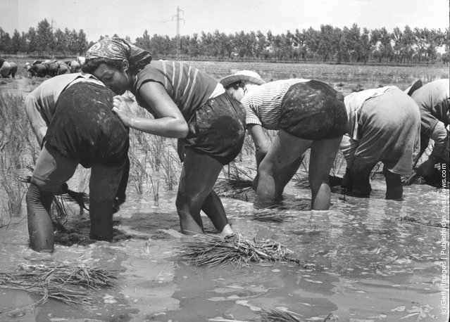 1951: One of the women working in a north Italian rice field rests against a friend