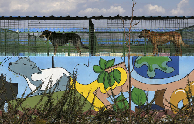 In this picture taken on Sunday, March 5, 2017, caught stray dogs stand on their cage's wall at Aradkouh Stray Dogs Shelter on the outskirts of the capital Tehran, Iran. (Photo by Vahid Salemi/AP Photo)