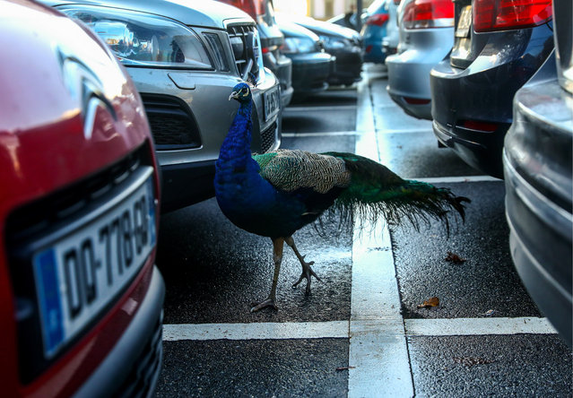 A peacock between parked cars by the Palace of Nations in Geneva, Switzerland on December 11, 2018. (Photo by Valery Sharifulin/TASS)
