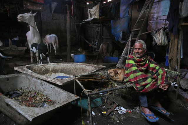 In this June 18, 2015 photo, a caretaker rests on a cot at a stable in Mumbai, India. (Photo by Rafiq Maqbool/AP Photo)