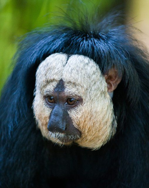 A white-faced saki is pictured in its enclosure at the Tierpark zoo in Berlin on May 20, 2014. (Photo by Hauke-Christian Dittrich/AFP Photo/DPA)