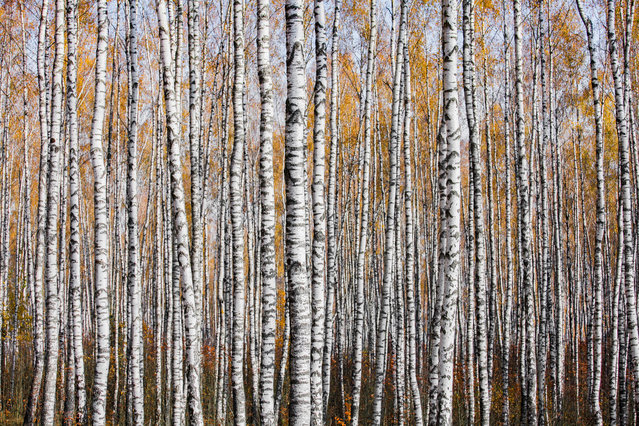 Overall runner-up: Autumn texture by Mikhail Kapychka (MSU Kuleshova), taken in Mogilev region, Belarus. A birch forest in autumn. (Photo by Mikhail Kapychka/2019 British Ecological Society Photography Competition)