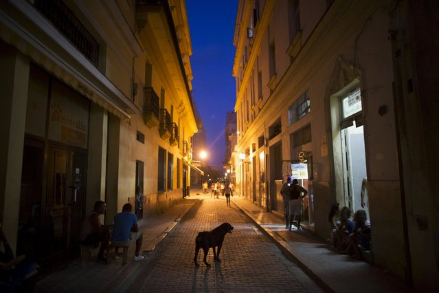 A male Rottweiler named Luca walks at the main touristic road in downtown Havana, July 31, 2015. (Photo by Alexandre Meneghini/Reuters)