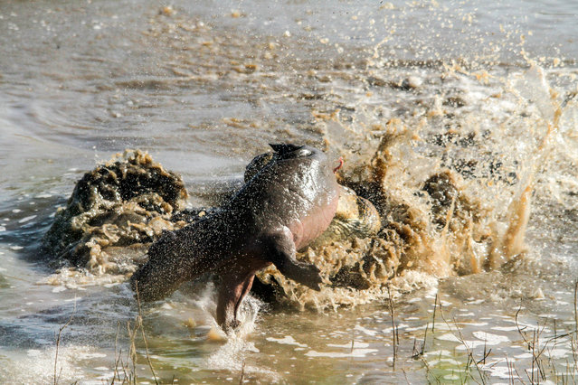 An enormous crocodile mauls a young hippo calf carcass near Lower Sabie on May 11, 2014, in Kruger National Park, South Africa. An enormous crocodile tosses around a young hippo calf caught in its lethal jaws. The giant reared out of the water revealing a young hippo calf between its teeth. (Photo by Roland Ross/Barcroft Media)