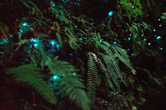 Glow-worms are the larvae of a species of fly called a fungus gnat. Up close, they are worm-like in appearance and use their lights to attract flying insects into a trap of sticky threads. (Photo by Alex Hasskerl/BBC Pictures/The Guardian)