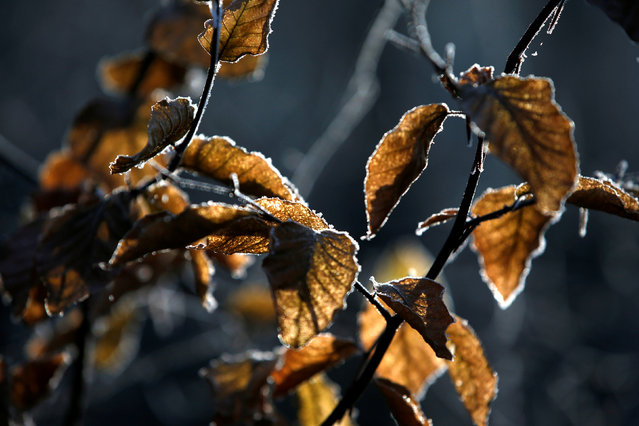 Frozen leaves on a tree are seen at lake Grunewald in Berlin, Germany, December 5, 2016. (Photo by Fabrizio Bensch/Reuters)