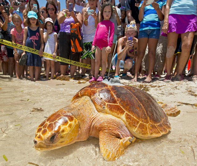 Pine Tyme, a subadult loggerhead sea turtle fitted with a satellite tracking transmitter, crawls into the Atlantic Ocean after being released in Marathon, Florida August 15, 2014. The 80-pound female turtle was rehabilitated at the Keys-based Turtle Hospital, and is the 11th turtle being tracked online during the Tour de Turtles, a three-month-long event organized by the Sea Turtle Conservancy. (Photo by Andy Newman/Reuters/Florida Keys News Bureau)