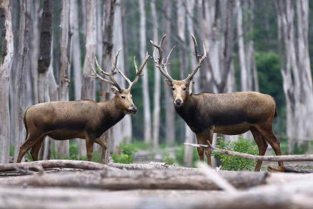 Elks are seen at the Dafeng National Nature Reserve for Elk in Yancheng City, east China's Jiangsu Province, September 3, 2017. The nature reserve has seen its number of elks increasing from only 39 in 1986 to more than 4,100 this year. (Photo by Han Hua/Xinhua/Barcroft Images)