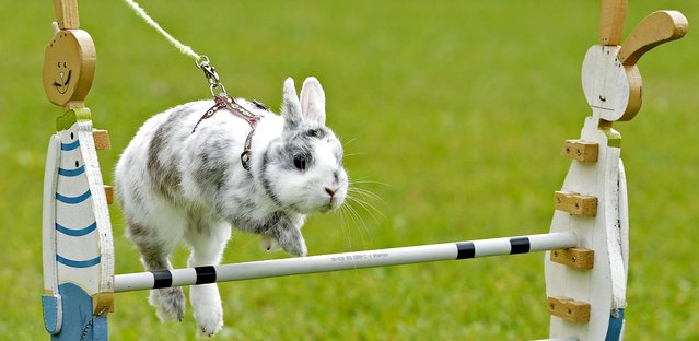 "Rabbit ""Little Joe"" clears an obstacle during the Kaninhop (rabbit-jumping) competition in Weissenbrunn vorm Wald, Germany, on September 2, 2012. Competitors take part in three different categories with an obstacle height ranging between 25 and 40 centimeters. (Photo by Jens Meyer/Associated Press)"