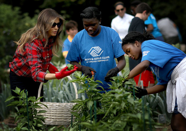 U.S. first lady Melania Trump joins children from the Boys and Girls Club of Washington in planting and harvesting vegetables in the White House Kitchen Garden September 22, 2017 in Washington, DC. The White House Kitchen Garden is a tradition started by former first lady Michelle Obama. (Photo by Win McNamee/Getty Images)