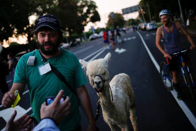 A man walks his alpaca along the perimeter walls of the 2016 Democratic National Convention in Philadelphia, Pennsylvania on July 27, 2016. (Photo by Adrees Latif/Reuters)