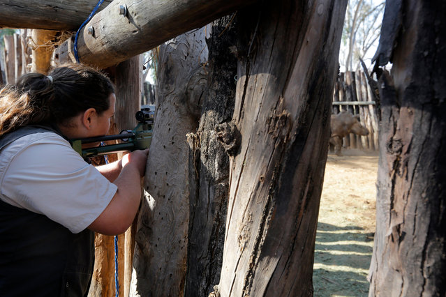 Dr Zoe Glyphis (L) shoots with a dart the eight-years-old White Rhino Seha prior his relocation to a bigger property in Johannesburg, South Africa, 28 July 2017. (Photo by Kim Ludbrook/EPA/EFE)