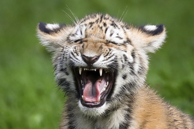 A little Siberian tiger hisses in the outdoor enclosure at the Animal Park Hagenbeck, in Hamburg, Germany, Thursday Oct. 12, 2017. Four Siberian tigers were born in the Animal Park on  June 15, 2017. (Photo by Christian Charisius/DPA via AP Photo)