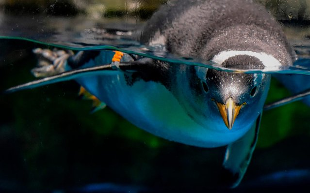 This picture taken on May 4, 2020 shows a gentoo penguin swimming in an enclosure at the Ocean Park theme park, which is currently closed due to the COVID-19 novel coronavirus, in Hong Kong. (Photo by Richard A. Brooks/AFP Photo)