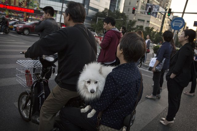 A Chinese carry their dog on a scooter as they wait for the light to change in traffic on September 17, 2014 in Beijing, China. (Photo by Kevin Frayer/Getty Images)