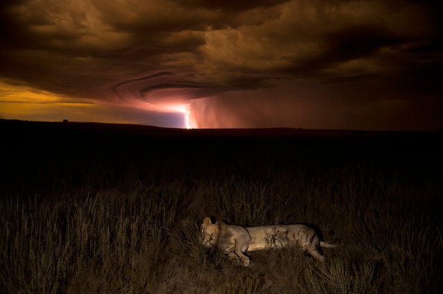 """Runner-up. This young male seemed blissfully unconcerned by the lightning and thunder rolling in across the Kalahari. Hannes Lochner, who was taking night shots in the South African part of the Kgalagadi Transfrontier Park, came across him stretched out beside the track. """"He raised his head to stare at me a couple of times"""", says Hannes. (Photo by Hannes Lochner/Veolia Environnement Wildlife Photographer)"""