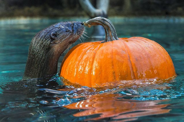 An African spotted-necked otter named Mugo examines a floating pumpkin in her exhibit this morning at the San Diego Zoo on Wednesday, October 8, 2014, in San Diego. Keepers had placed pumpkins smeared with peanut butter and hollowed-out gourds with fish inside in the otter's exhibit in Ituri Forest. (Photo by Ken Bohn/AP Photo/San Diego Zoo)