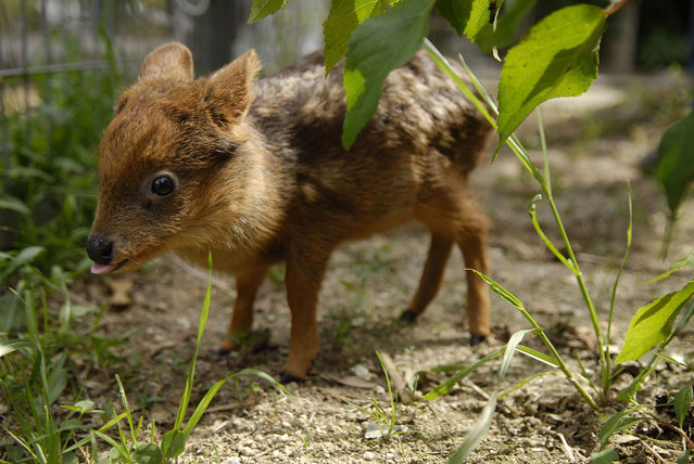An one month old baby Pudu deer grazes in an artificial environment at an University in Concepcion city, south of Santiago, November 12, 2012. The Pudu, the world's smallest deer, was found orphaned in a forest close Concepcion city and inhabits exclusively in southern Chile and part of Argentina. The species is currently in danger of extinction. (Photo by Jose Luis Saavedra/Reuters)
