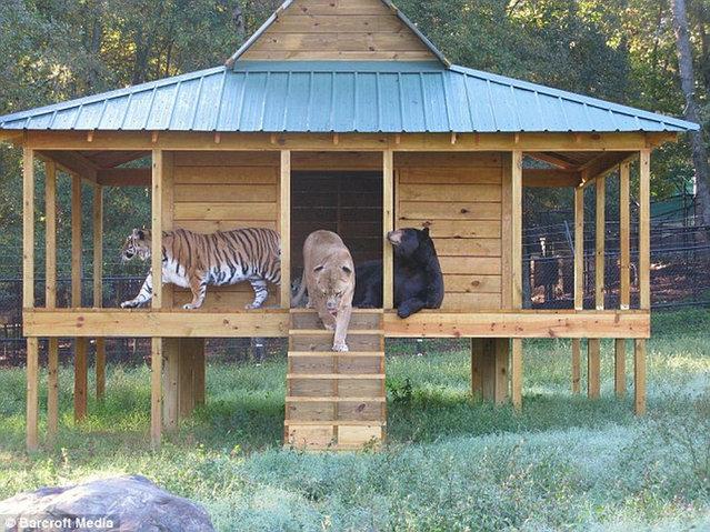 Lion, Tiger, Bear