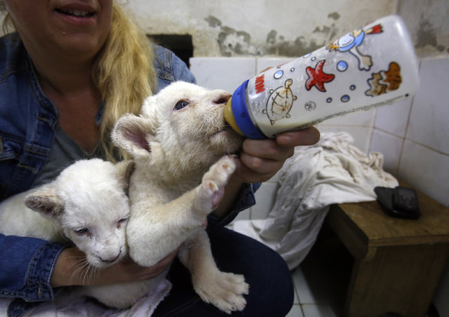 Zookeeper Nadezda Radovic feeds three week old white lion cubs with a baby's bottle at Belgrade Zoo, Serbia, Friday, October 17, 2014. The two white lions cubs, an extremely rare subspecies of the African lion, were recently born at the Belgrade Zoo. (Photo by Darko Vojinovic/AP Photo)