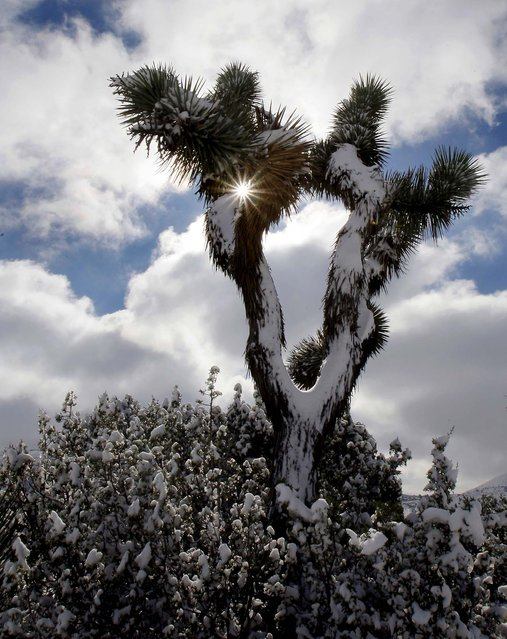 A Joshua tree and desert scrub brush are covered with snow as storm clouds blow through Palmdale, California in the Mojave Desert, January 3, 2011. (Photo by Reed Saxon/Associated Press)