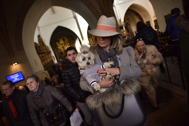 A woman holds up her pet inside Saint Pablo church, during the feast of St. Anthony, Spain's patron saint of animals, in Zaragoza, northern Spain, Wednesday, January17, 2018. (Photo by Alvaro Barrientos/AP Photo)