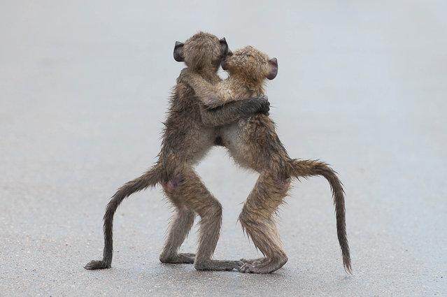 'Last tango'. (Photo by Tony Dilger/Comedy Wildlife Photography Awards/Mercury Press)