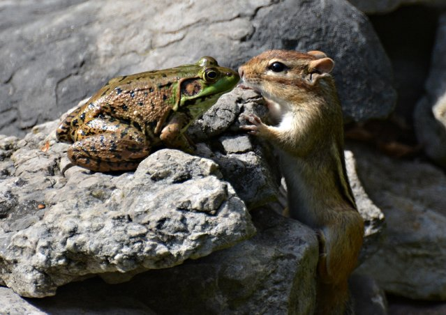 A frog and chipmunk share a romantic kiss pictured by Isabelle Marozzo for the Comedy Wildlife Photo Awards 2016, Canada, September, 2015. (Photo by Isabelle Marozzo/Barcroft Images/Comedy Wildlife Photo Awards)