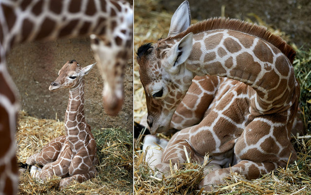 A baby giraffe lays in the straw on March 8, 2013 at the Zoo in Duisburg, western Germany. The male baby giraffe, 1.70 meters (or about 5.5 feet) tall, was born during the night of March 5, 2013 at the Zoo. (Photo by Bernd Thissen/AFP Photo)