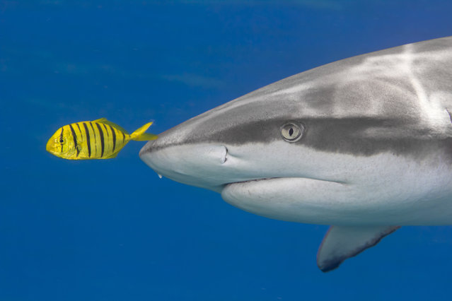 A juvenile golden trevally, a member of the jack family, swimming just a few inches in front of a highly carnivorous gray reef shark. Specialists believe the behavior makes the jack safer when it swims in close proximity to sharks as it only has to keep track of one potential predator. The jack can react extremely fast if the shark tries to catch it, and no other animal is likely to approach the shark in an effort to pursue the colorful jack. The risk involved is too large for the potential reward. (Photo by Marty Snyderman/Caters News Agency)