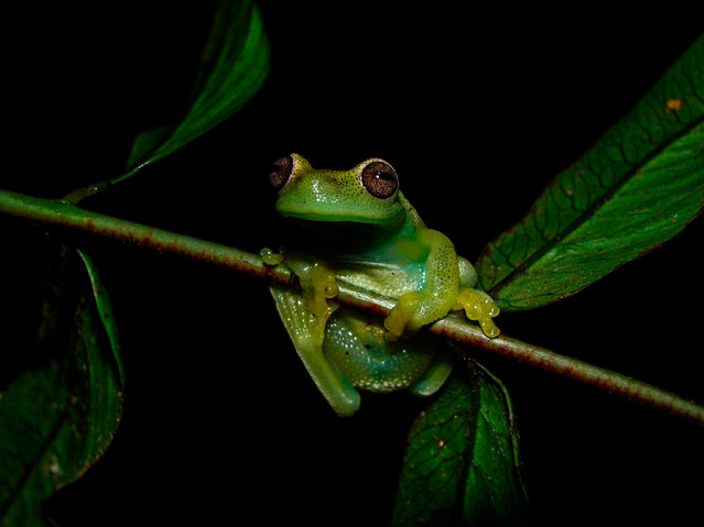 This handout picture released on March 27, 2018 by La Salle Natural History Museum of Venezuela shows a Hyloscirtus Japreria frog at its habitat in the Perija slopes, Zulia state, Venezuela near the border with Colombia Scientists from Venezuela and Colombia identified a new species of frog in the Sierra de Perija, a vast mountain range that both countries share and that hosts endemic species such as this small amphibian. (Photo by Fernando Rojas-Runjaic/AFP Photo/La Salle Natural History Museum of Venezuela)