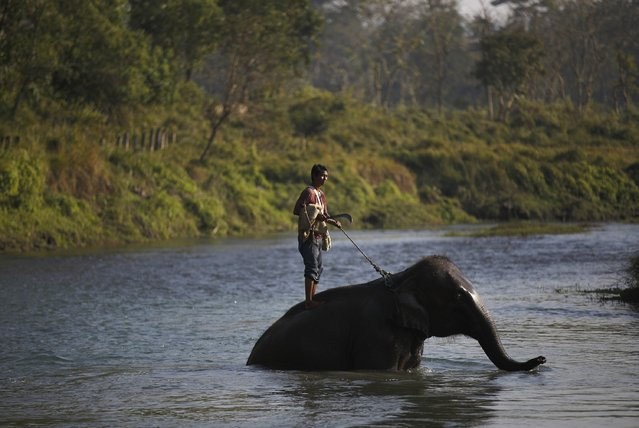 A Mahout rides on his elephant as they cross Rapti River while returning from Chitwan National Park at Sauraha in Chitwan, south of Kathmandu, December 25, 2014. Elephants and mahouts from Chitwan will participate in the Elephant festival, which involves elephant races, elephants playing an exhibition soccer match and taking part in various other sporting activities. (Photo by Navesh Chitrakar/Reuters)
