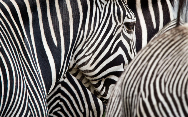 Zebras are pictured in the Zoo in Frankfurt am Main  western Germany, on June 11, 2013. (Photo by Frank Rumpenhorst/AFP Photo)
