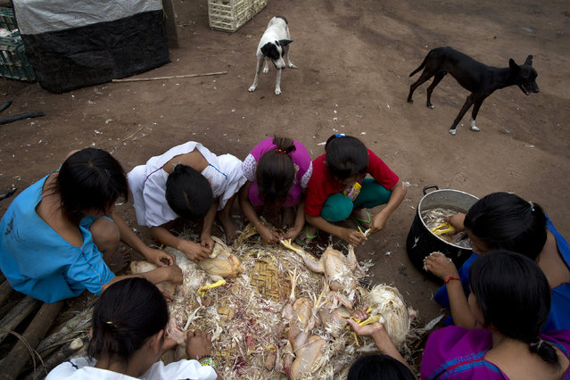 In this November 19, 2015 photo, girls pluck chickens in preparation for a celebratory meal for the health workers who came to their village to promote good eating habits in Pichiquia, an Ashaninka community in Junin region, Peru. Thirty chickens were provided by the health workers for the meal, a delicacy for the community, who normally dine on fish and yuca, a starchy tuber. (Photo by Rodrigo Abd/AP Photo)