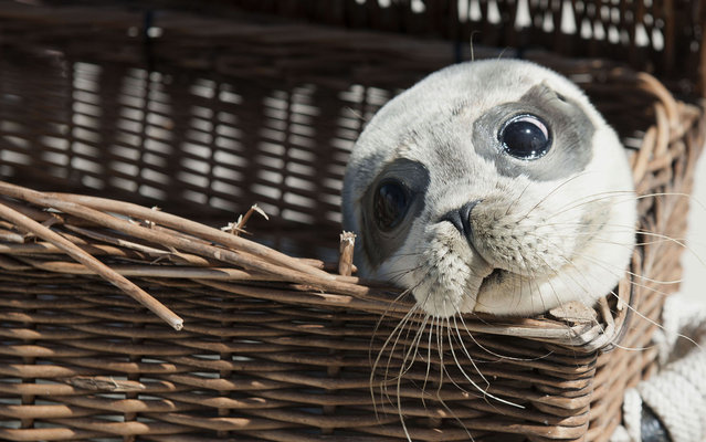 "Seehund ""Bruno"" looks out of his transport box before making his way to the water on the beach of the island of Juist, Germany on August 14, 2013. Four young seals were released after six weeks of recovery at a rescue station in Norden-Norddeich. (Photo by Carmen Jaspersen/AFP Photo/DPA)"