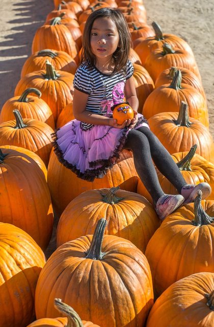 Five-year-old Mikayla poses for a picture with large pumpkins stocked for the upcoming Halloween at the Pierce College Farmer's Market in Woodland Hills, California, on October 3, 2013. (Photo by Joe Klamar/AFP Photo)