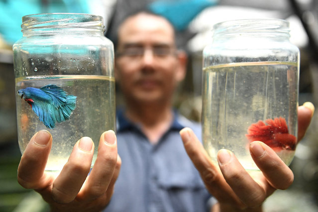 Tran Ngoc Thang poses with Betta fish or Siamese fighting fish raised inside glass jars at his ornamental fish farm in Hanoi on April 13, 2021. (Photo by Nhac Nguyen/AFP Photo)