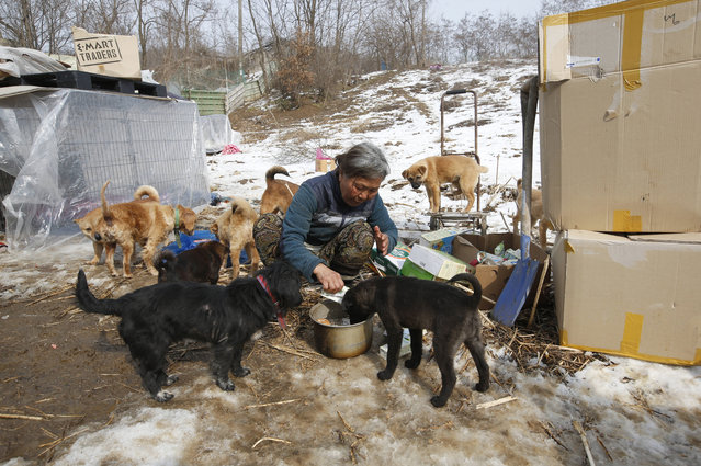 In this Wednesday, January 27, 2016 photo, Jung Myoung Sook, 61, who rescued and sheltered dogs for 26 years, feeds soy milk to her dogs at a shelter in Asan, South Korea. (Photo by Lee Jin-man/AP Photo)