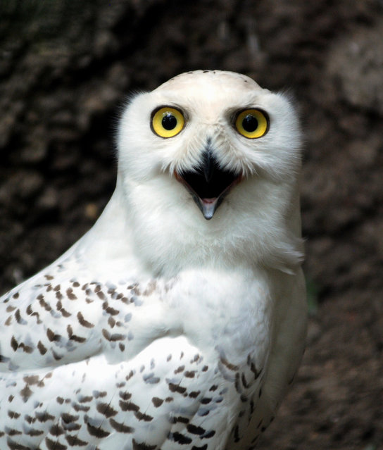 Snowy owl. (Photo by In Cherl Kim)