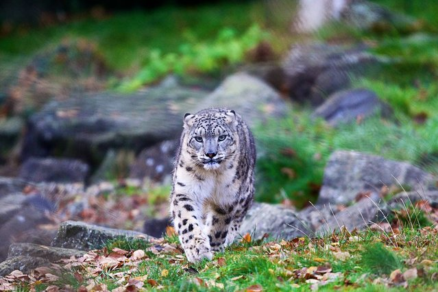 Dublin Zoo would like to invite you to suggest a name for a young female snow leopard that arrived at the Zoo earlier this year. (Photo by Patrick Bolger/PA Ware)