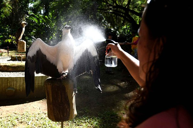 This photo taken February 17, 2016 shows an animal keeper spraying water on a white-bellied sea eagle to cool down the bird, inside the Philippine Eagle center in Davao on the southern island of Mindanao. A Philippine breeding centre trying to save the country's critically endangered monkey-eating eagle has been so successful it is now scrambling for space, officials said on February 8. (Photo by Ted Aljibe/AFP Photo)