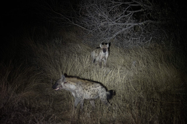 Two hyenas are seen at the Balule Nature Reserve, in northern Limpopo, on August 31, 2021. Lions are synonymous with the African continent, but over the years their numbers have been decreasing. They are classed as a vulnerable species and with an ever-shrinking habitat. The lion population at the Balule Nature Reserve is flourishing where an annual census is underway A team of rangers and researchers are doing a month-long count of all predators, specifically lions. (Photo by Luca Sola/AFP Photo)