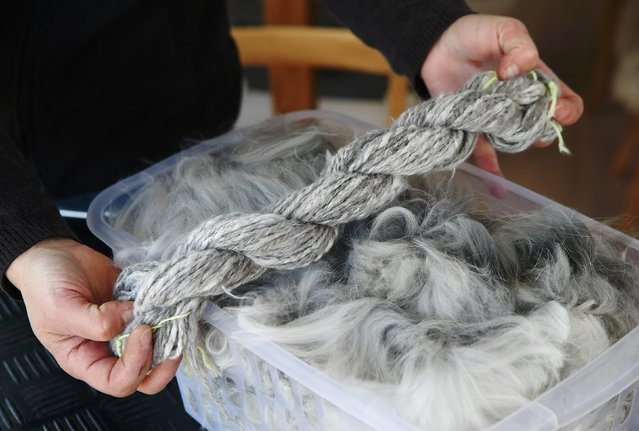 Georgia Spausta displays handspun yarn next to freshly clipped angora wool in her workshop at a small farm in Herzogbirbaum, Austria March 10, 2015. (Photo by Heinz-Peter Bader/Reuters)