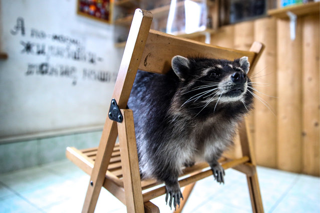 A raccoon is seen at Raccoon's House in the town of Khotkovo near Moscow, Russia on April 6, 2019. Over 20 raccoons live here. (Photo by Sergei Bobylev/TASS)
