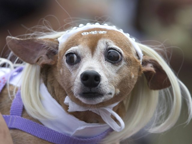 "A dog dressed up in a wig is seen during the ""Blocao"" dog carnival in Rio de Janeiro. (Photo by Silvia Izquierdo/AP Photo)"