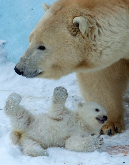 Polar bear Gerda plays with her cub in the Zoo in Novosibirsk, about 2,800 kilometers (1,750 miles) east of Moscow, Russia, Friday, March 7, 2014. The first cub of Polar bear couple Kai and Gerda was born at Novosibirsk Zoo in early December. (Photo by Ilnar Salakhiev/AP Photo)