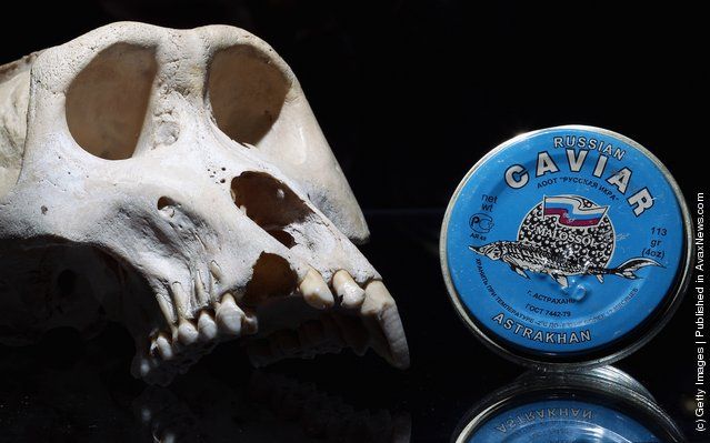 A Mountain Gorilla skull and a pot of Russian Caviar