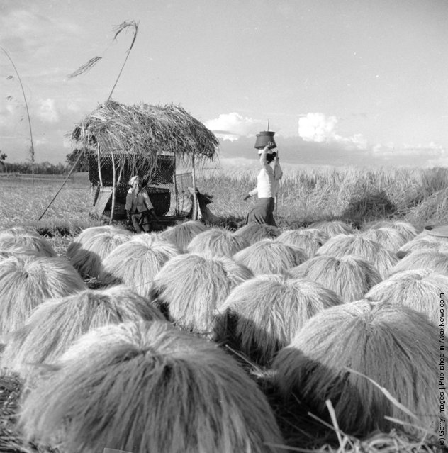 1954: Rice is stacked in bundles in the fields in Bali after it is cut. It is then carried to a granary for storage